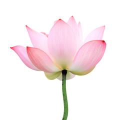 Fototapeta isolated lotus