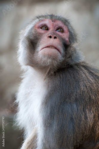 Photo  Macaque male portrait  in Nepal temple having fun