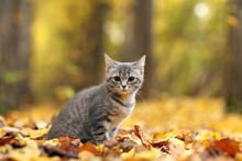 Kitten In Yellow Leaves