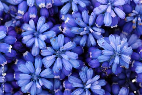 Muscari - hyacinth close-up