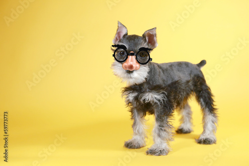 Fototapeta Little Goofy Minuature Schnauzer Puppy Dog
