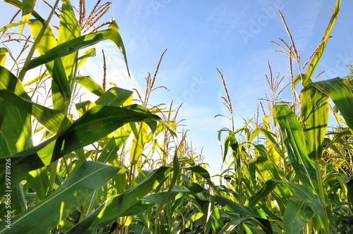Fotografía  feuillage du maïs