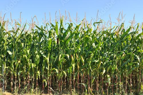 champ de maïs de face Poster