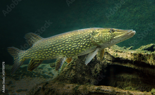 Fotografie, Obraz  Underwater photo of a Northern Pike ( Esox Lucius ).