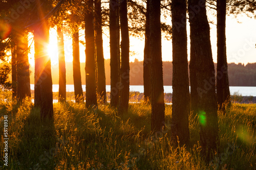 Tree silhouettes and long hay in golden evening sun light