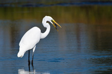 Great Egret With Caught Fish In Autumn