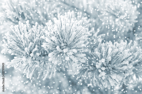 Fototapety, obrazy: Winter background with frozen coniferous branch