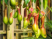 Nepenthes  Ventrata, A Carnivo...