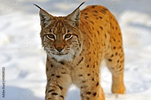 Poster Lynx Lynx in their