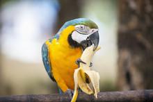 Blue And Yellow Macaw Eating Banana, Boracay, Philippines