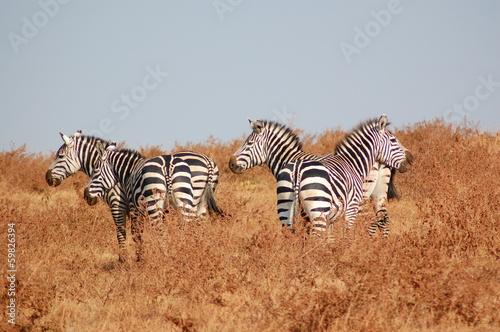 Staande foto Afrika Zèbres : aire de conservation du Ngorongoro