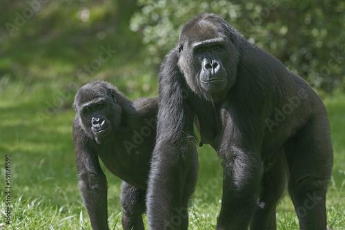 Valokuvatapetti Western lowland gorilla, Gorilla gorilla