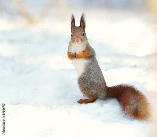 Foto op Canvas Eekhoorn Red squirrel on snow