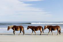 Three Wild Mustangs On A Beach