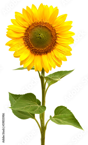La pose en embrasure Tournesol Sunflower