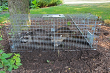 Two Raccoons (Procyon Lotor) C...