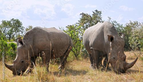 Spoed Foto op Canvas Neushoorn Masai Mara Black Rhinoceroses