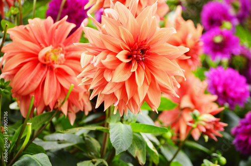 Spoed Foto op Canvas Dahlia Blooming dahlias in the garden on September