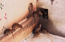 Holy Rats Running Around Karni...