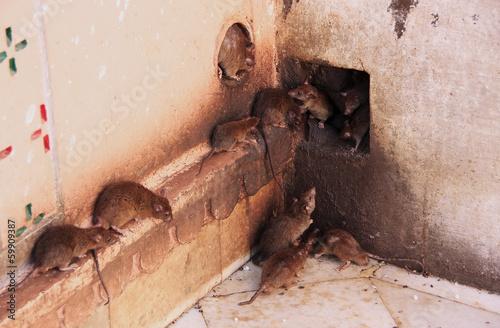 Photo  Holy rats running around Karni Mata Temple, Deshnok, India