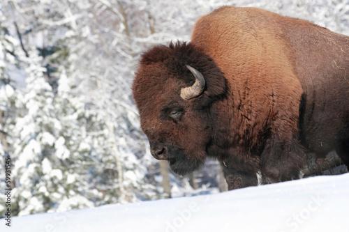 Staande foto Buffel gros bison