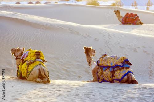 Camels in the Thar Desert, Jaisalmer, India