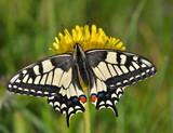 Czarno biały motyl (Papilio Machaon)