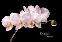 Orchid Flower Branch Isolated On Black Background