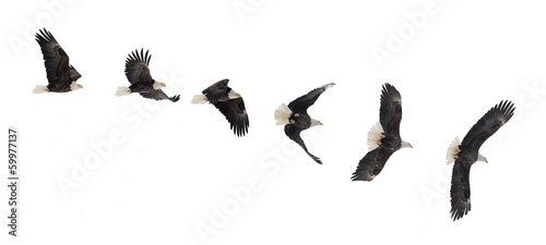Photo sur Aluminium Aigle Flying bald eagle
