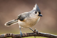 Tufted Titmouse Perched On A B...