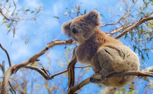 Garden Poster Koala Koala in Great Ocean Road, Victoria, Australia