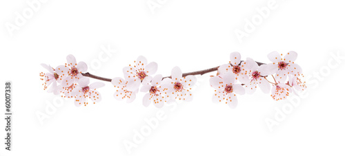 Photo sur Toile Fleur de cerisier Branch of Japanese cherry with blossom, isolated on white