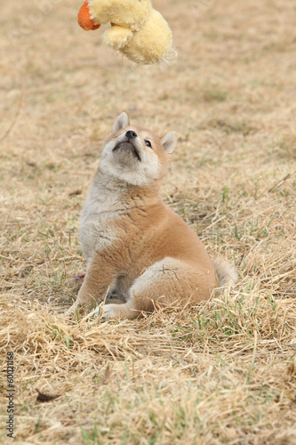 Staande foto Ree Beautiful puppy of Shiba inu