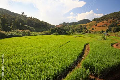 Printed kitchen splashbacks Khaki Terrace harvest rice fields in Chaing Mai