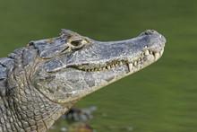 Spectacled Caiman, Caiman Crocodilus,