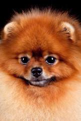 Pomeranian (spitz) dog portrait isolated on black