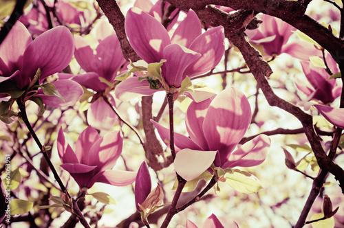 Deurstickers Magnolia Magnolia flowers