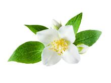 Jasmine Flower On White Backgr...