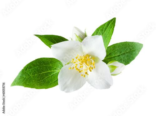 Carta da parati Jasmine flower on white background