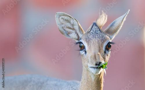 Fotobehang Antilope Kirk Dik-dik (Madoqua kirkii)