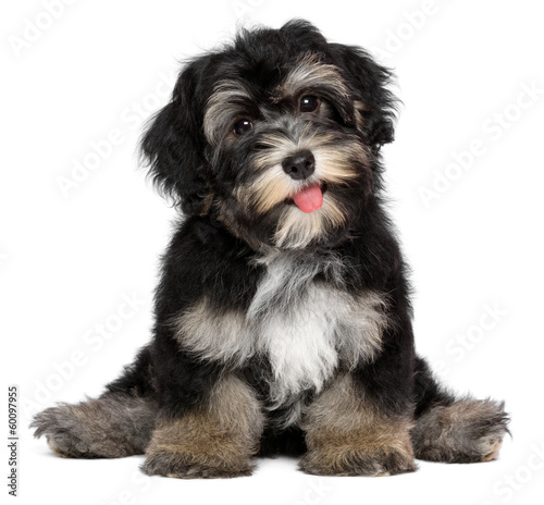 Valokuva Funny smiling black and tan havanese puppy dog