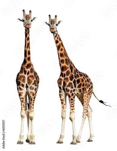 Tuinposter Giraffe giraffes isolated