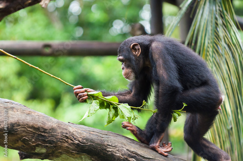 Common Chimpanzee Fototapet