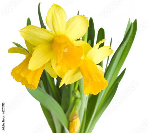 In de dag Narcis daffodils in green grass over white