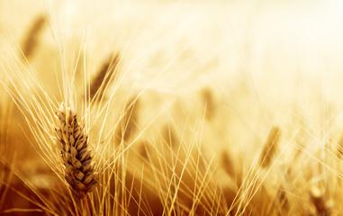 Fototapeta Wiejski Wheat field