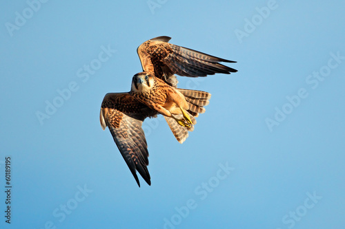 Lanner falcon in flight Wallpaper Mural
