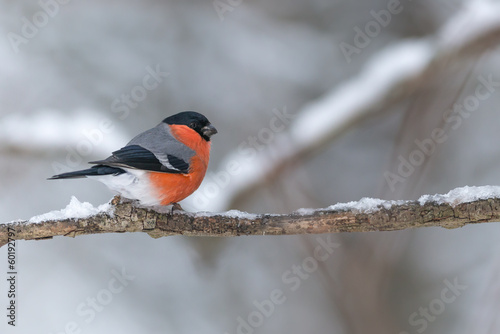 Fototapeta Bullfinch sits on a icy branch