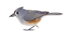 Tufted Titmouse Isolated