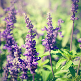 Retro photo of lavender flowers close-up in sunny day