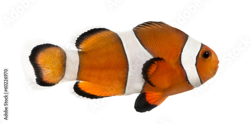 Fotografie, Tablou  Side view of an Ocellaris clownfish, Amphiprion ocellaris